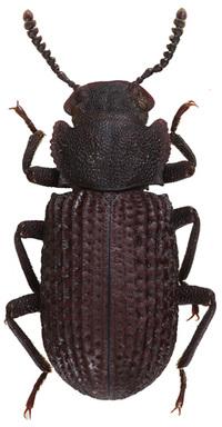 Bolitophagus_reticulatus