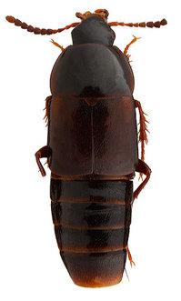 Tachinus_yezoensis