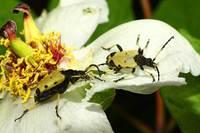 Brachyta_bifasciata_japonica003