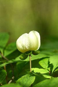 Paeonia_japonica001