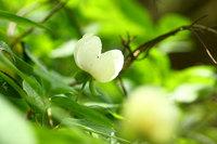 Paeonia_japonica002