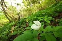 Paeonia_japonica004