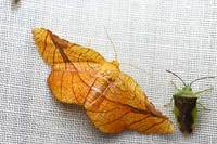 028pyrinioides_aurea