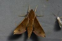 057rhagastismongoliana
