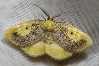 077euchristophiacumulatacumulata