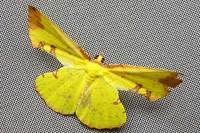 Corymicapryeributler1878