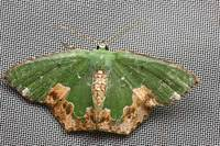 Eucyclodesinfractuswileman1911