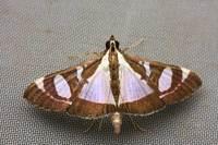 Glyphodesactorionaliswalker18591