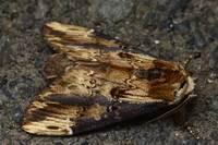 Hexafrenumleucoderastaudinger1892