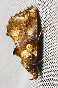 Plusiodontacastabutler1878