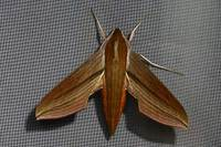 Theretrajaponicaboisduval1869