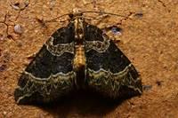 004ecliptoperaumbrosariaumbrosaria1