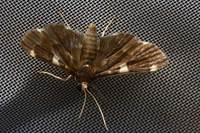 016piletoceraaegimiusaliswalker1859