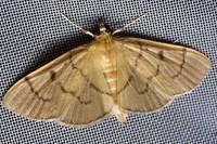 018paranacoleialophophoralishampson
