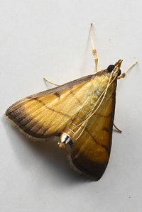 Cnaphalocrocismedinalisguenee1854