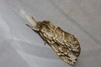 Microphaleragriseabutler1885
