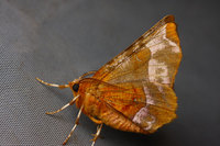 Seleniatetralunariahufnagel1769