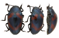 Aulacochilus_japonicus_crotch_2