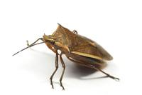 シロヘリクチブトカメムシ Andrallus spinidens (Fabricius)