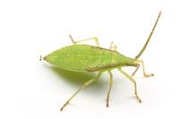 ホオズキヘリカメムシの幼虫その1
