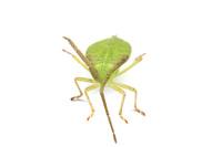 ホオズキヘリカメムシの幼虫その2
