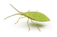 ホオズキヘリカメムシの幼虫その3