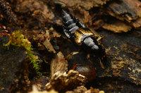 オオキバハネカクシ Oxyporus japonicus