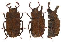 Bolitonaeusbellicosus1