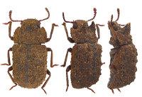 Bolitonaeusbellicosus2