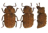 Bolitonaeusbellicosus3