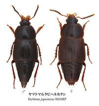 Tachinus_japonicus2