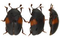 Pseudotritomaconsobrina2