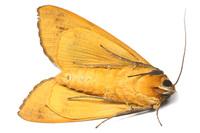 クロモンシタバ Ophiusa tirhaca (Cramer, 1777)その4