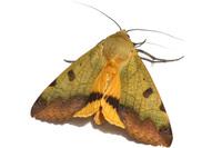 クロモンシタバ Ophiusa tirhaca (Cramer, 1777)その3