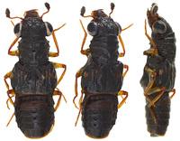 メダカオオキバハネカクシ Megalopinus japonicus (Nakane, 1957)