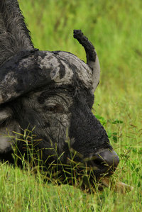 11_africanbuffalo_synceruscaffer