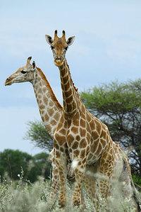 14_giraffe_giraffacamelopardalis