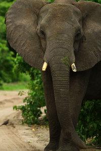 15_africanelephant_loxodonataafrica