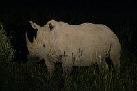 16_whiterhinoceros_ceratotheriumsim
