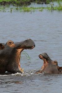 17_hippopotamus_hippopotamusamphibi