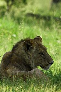 18_lion_pantheraleo