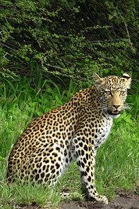 19_leopard_pantherapardus