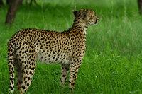 20_cheetah_acinonyxjubatus