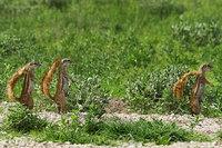 31_southafricangroundsquirrel_xerus