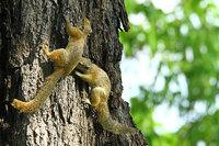 32_treesquirrel_paraxeruscepapi