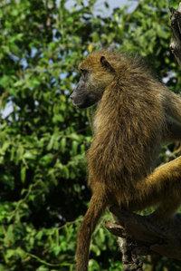 34_baboon_papiohamadryasursinus