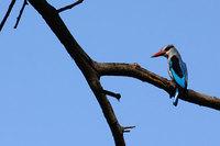Woodlandkingfisher_halcyonsenegalen