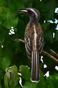 Africangreyhornbill_male1