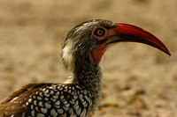 Redbilledhornbill1
