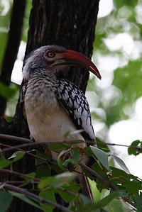 Redbilledhornbill2